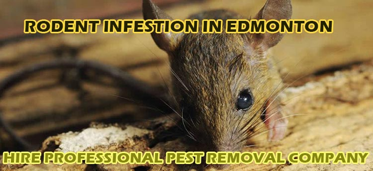 RodentInfestationEdmonton
